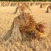 Gavillas de trigo — Foto de Stock