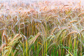 Barley stems — Stock Photo