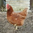 Brown Hen — Stock Photo #30507361