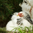 White hen — Stock Photo