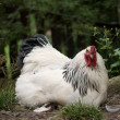 White rooster — Stock Photo #30664843