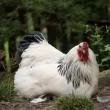 White rooster — Stock Photo