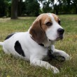 Beagle dog in the park — Stock Photo