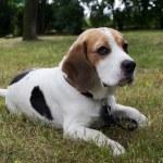 Постер, плакат: Beagle dog in the park