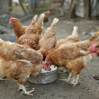Brown Hens eating — Stock Photo #30668239
