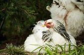 White hen — Stock Photo