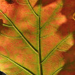 Green red oak leaf — Stock Photo #30679511