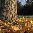 Autumn leaves under the tree — Stock Photo #30679925