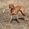 Hungarian Vizsla Dog — Stockfoto