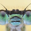Damesfly amazing sharp and detailed macro portait — Stock Photo