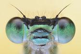 Damesfly amazing sharp and detailed macro portait — Stock Photo