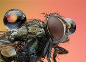 Extreme sharp and detailed macro of small polish fly — Stock Photo