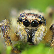 ,,With claw - Its jumping spider macro in my garden  — Stock Photo