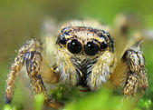 """,,With claw"""" - Its jumping spider macro in my garden — Stock Photo"""