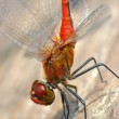 Dragonfly on wood - natural environment macro - 1 shot sigma 105 — Stock Photo