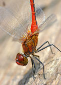 Dragonfly on wood - natural environment macro - 1 shot sigma 105 — Stock Photo