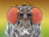 Fruiy fly macro — Stock Photo