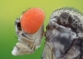 Extreme sharp and detailed macro of Drosophila melanogaster — Stock Photo