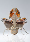 Threatening mantis- deroplatys lobata show her wings — Stock Photo