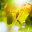 Leaves on a tree — Stock Photo #49537515