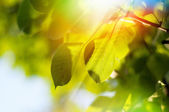 Leaves on a tree — Stock Photo