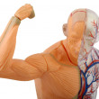 Human muscles — Stock Photo
