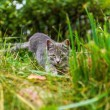 Little Kitten hunts the mouse in the grass — Stock Photo