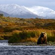 Kodiak brown bear — Stock fotografie