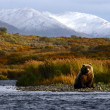 urso Kodiak — Foto Stock