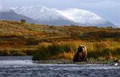 Kodiak brown bear — Stock Photo