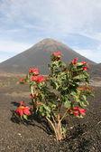 Flores vermelhas na frente de um vulcão — Foto Stock