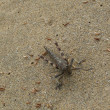 Grasshopper in sand — Stock Photo