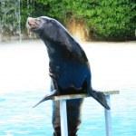 deniz aslanı — Stok fotoğraf