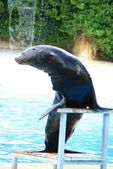 Sea-lion — Stock Photo