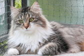 Male of siberian cat — Stock Photo