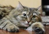 Female of siberian cat — Stock Photo