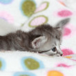 Puppies of siberian cat at three weeks — Stock Photo