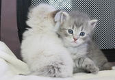 Puppy of siberian cat — Stock Photo