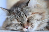 Female of siberian kitten, tricolor — Stock Photo
