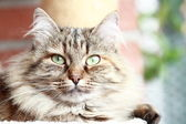 Female of siberian cat — Stock Photo