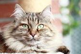 Kobieta kot syberyjski — Zdjęcie stockowe