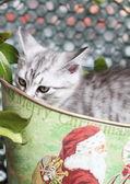 Gümüş yavru Sibirya doğurmak — Stok fotoğraf