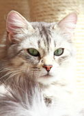 Silver cat of siberian breed, adult female — Stock Photo