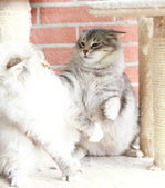 White neva masquerade and silver cats of siberian breed — Stock Photo