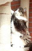 Male of siberian cat, brown white underground version — Foto de Stock