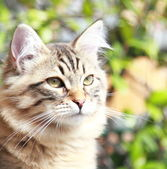 Brown kitten of siberian breed, male — Stock Photo