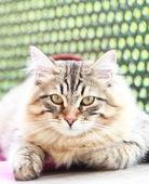 Brązowy kotek rasy syberyjskiej, mężczyzna — Zdjęcie stockowe