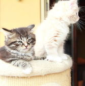 Puppies of siberian cats, brown and cream version — Stock Photo