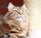 Brown tortie cat of siberian breed — Stock Photo