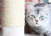 Silver cat of siberian breed, female adult — Stock Photo